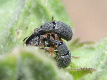 weevil-threesome.jpg