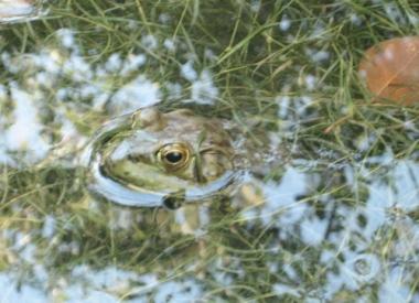 frog-tymp.JPG