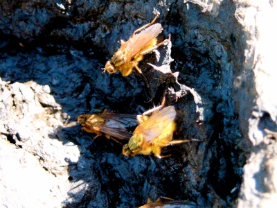 Dung flies